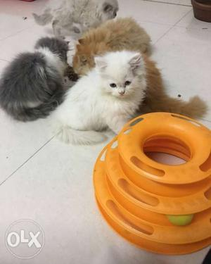Adorable and loving Persian kittens available