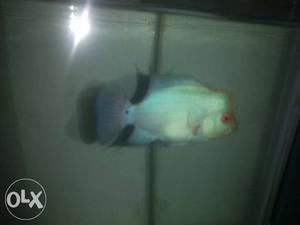 Thai silk flowerhorn fish with prominent head kok