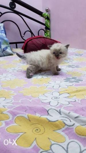 White Eyes Off White Persian Kitten For Sell 2