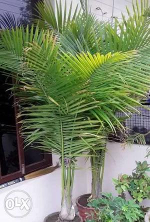 Rexona palm no.1 variety. Call O.
