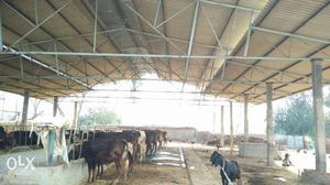 Farm shed for sale condition good pind sailbrah