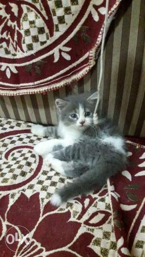 Persian kittens. All color kittens available for