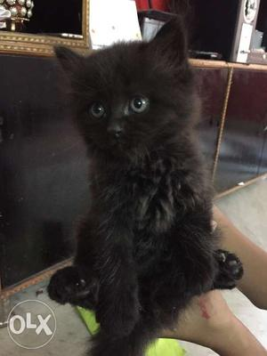 Pure Persian kitten, parents born n bought