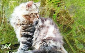 Siberian Tabby Persian Kitten for sale