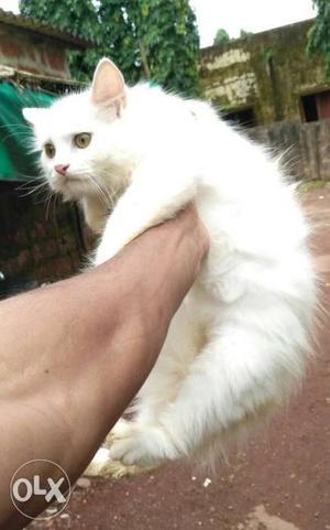 White Doll face Persian kitten for sale.