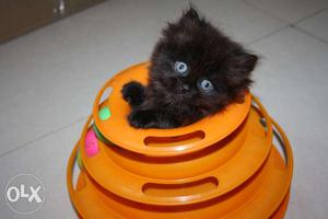 Active and loving persian kittens available