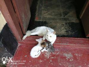Free kitten for sale