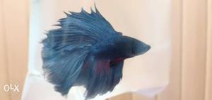 Good Quality Betta FighterFish breeding quality