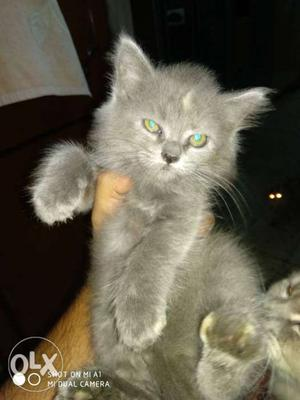 55 days doll face kittens 2 female 1 male
