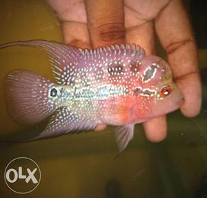 """Imported srd Flowerhorn available for sale 2.5"""""""