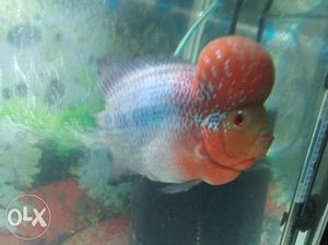 My SRD flowerhorn fish with super head and colour