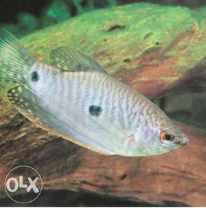 10 three spot gourami fishes at discount price