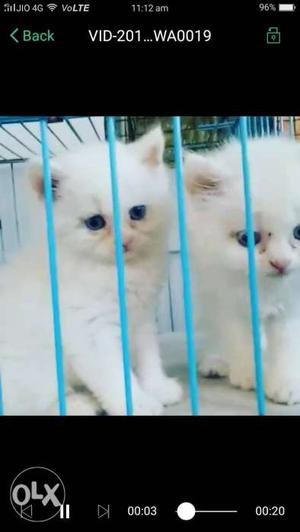 Call us for good n cute kitten