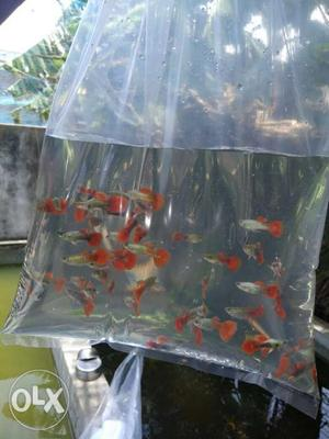 Dumbo ear guppies and neon tetras 2pairs for120
