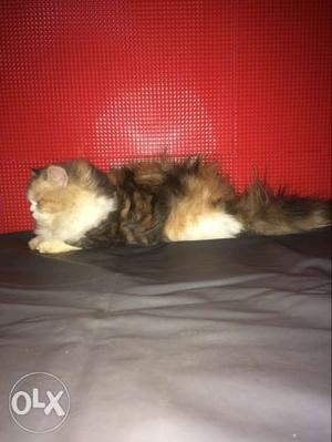Persian kitten available amazing quality for more