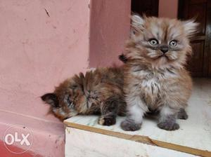 50 days male and female kittens available..