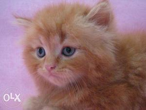 All cute pure persian kitten for kitten for sale in all CaSh