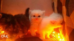 All types kittens available transport all over in