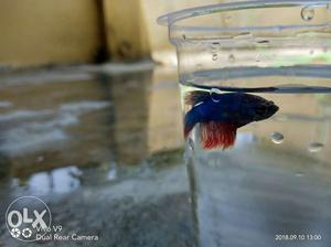 Male betta fish 100 only big size