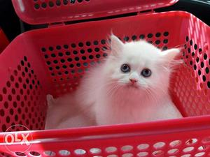 So cute persian kitten for sale cash on delivery very cheap