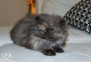 So cute pure persian kitten for sale in all india kitten