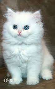 So cute pure persian kitten for sale in all india kitten CoD