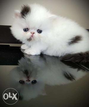 So friendly persian kittens available kitten for sale c