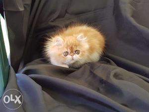 So friendly persian kittens available kitten for saleFOR