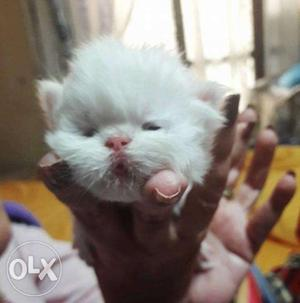 White color pure persian kitten for sale in all india kitten