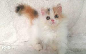 Very So very beautiful person kitten for sale AVAble