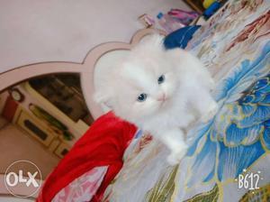 White And Orange persian kittens