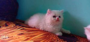 Beautiful cute pure persian kitten for sale