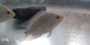Bring flowerhorn at home in low price size 2 inch