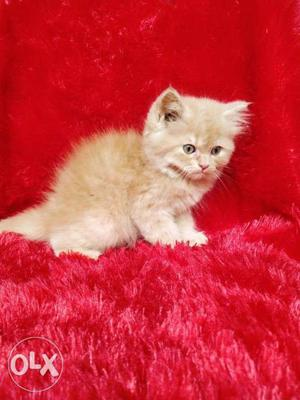 Good quality pure Persian cat and kitten for sale
