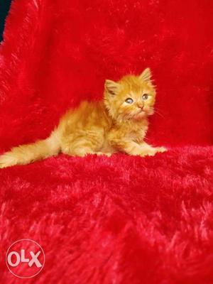 Healthy kitten all colour Persian kitten for sale