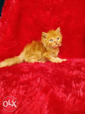 So beautiful persian cat and kitten for sale cash