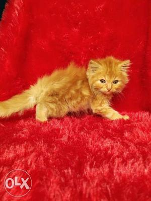 So cute Persian cat and kitten for sale cash on
