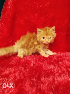 So cute pure Persian cat and kitten for sale cash