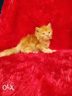 So so so cute Persian kitten for sale
