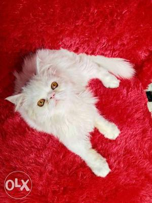 Very good quality and very beautiful Persian cat