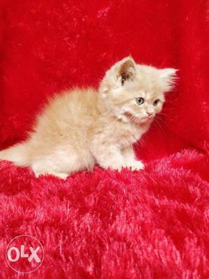 So beautiful pure Persian cat and kitten for sale