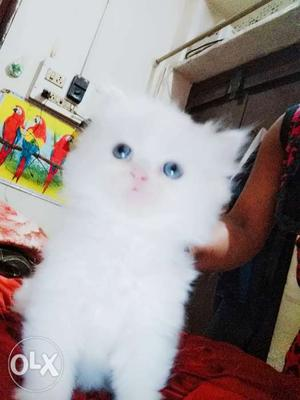Persian kittens white color male blue eyes and