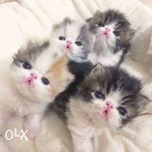 START from  all type of Persian kitten cat