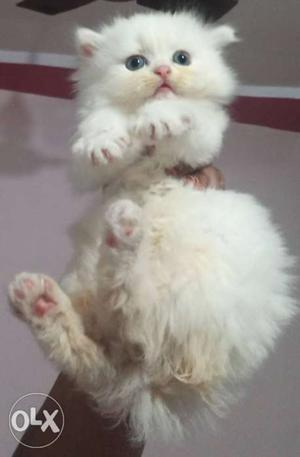 White and Fawn kitten for sale of 45 days