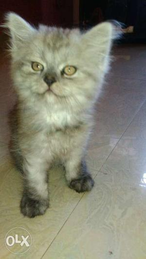 35 days old, female Persian cat for sale.very