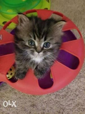 Black pure Persian kitten for sale cash on