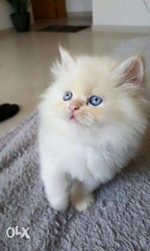 Blue eyes Persian kitten available in pune