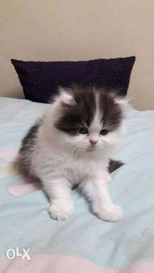 Cute and healthy persian kittens