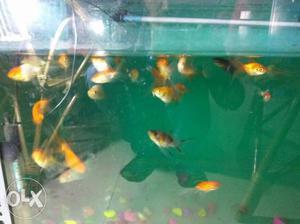 Goldfish Big size Rs 30, small size Rs.20