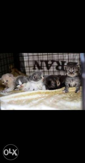 Good Quality 55days old semi punch kittens for sale. Each